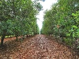 Photo 28.8ac macadamia starter orchard